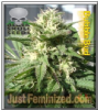 Black Skull Bubble Bud Female 10 Marijuana Seeds